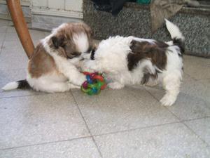 shitzu toy blancos con marron y blanco con negro