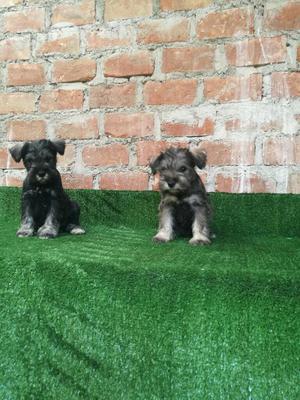 Cachorro Schnauzer Macho de 2 Meses Vacu