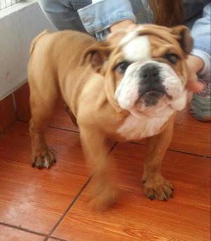 Se Vende Hermoso Bulldog Ingles