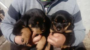 Cachorros Rottweiler 1 Mes Y Medio