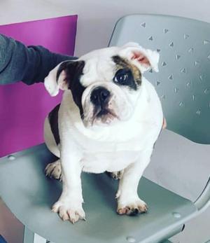 Excelente cachorro Bulldog Ingles KCP Dorado Top Ocasión