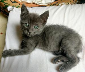 Hermoso Gatito Azul Ruso Auténtico con Certificado!!!
