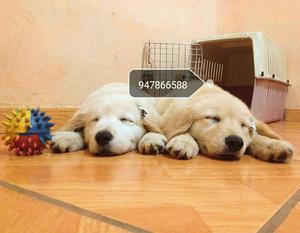 Cachorras Golden Retriever A1