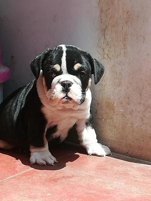 Cachorro Bulldog ingles, Blacktri