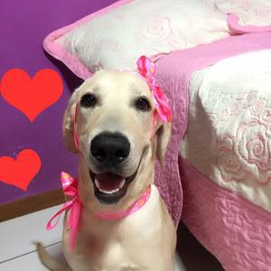 Busco Perro Macho Labrador