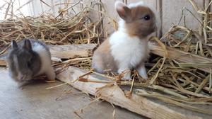 Conejitos Bicolor Enano Holandés Conejos