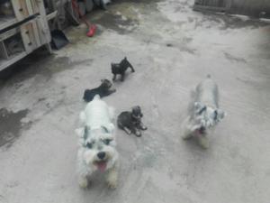 Se Vende Cachorros Schnauzer