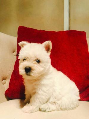 West Highland White Terrier con Pedigree