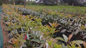 Venta de plantones de pecana mahan ica posot class for Viveros frutales