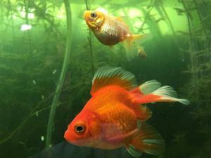 Peces goldfish telesc pico cola de velo posot class for Enfermedades de peces goldfish
