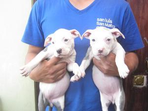 SE VENDE 2 CACHORRAS PITBULL BLUE NOSE AND WHITE,