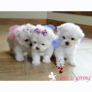 maltes mini toy lindos cachorros ideal para niños