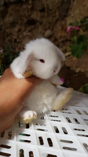 Conejitos Exclusivos Conejos Enanos