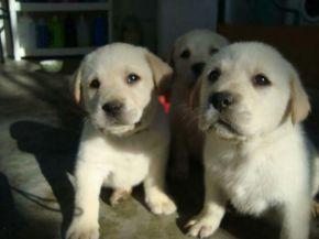 labrador retriever lindos cachorros huesos ideal para niños
