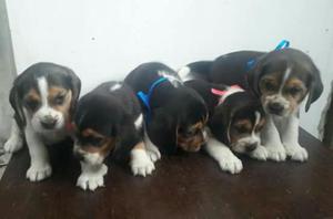 Bellos Cachorros Beagles Tricolor