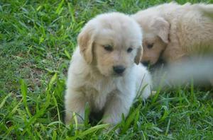 Bellos Cachorros Golden Retriever