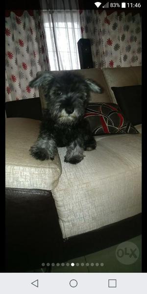 Vendo Cachorro Schnauzer 100 Miniatura