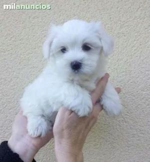 Se Vende Lindos Cachorros Bichon Maltes