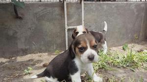 Beagles Lindos Cachorros