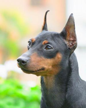 Cachorra Doberman pinscher miniatura pedigree Kcp