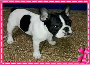 Hermosa Bulldog Francés de 5 meses