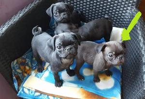 Vendo ultimo cachorro pug carlino macho de 2 meses y medio
