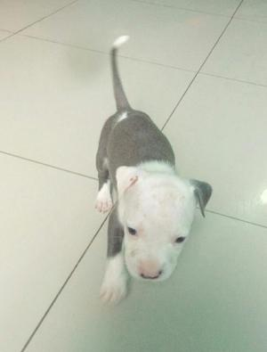 Se Vende Cachorros Pitbull Blue