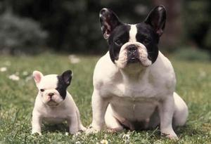 Busco Bulldog Frances para Monta