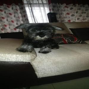 Vendo Cachorro Schnauzer Macho