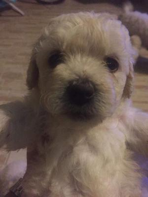 Lindos cachorritos raza poodle toy, 100 raza pura, padre y