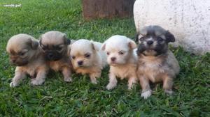 pequines toy mini lindisimos cachorritos caramelos champang