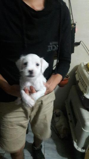Cachorro Schnauzer Miniatura Blanco Puro