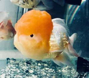 Alimentos para goldfish y carpas en pellets laguna posot for Alimento para goldfish