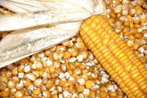 Venta De Maiz En Granos Para Aves por kg y tonelada