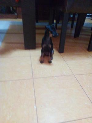 Vendo Perrito Pinsher