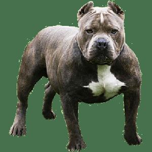 bullys fusion bellos cachorros plomos y chocolates