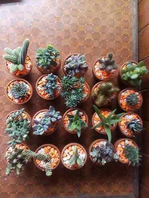 Vendo Cactus Y Suculentas En Maceta Arcilla Por Mayor