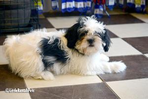 shitzu minaturas toy blanco con negro lindos cachorros