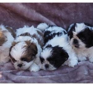 shitzu toy cachorritos lindos blanco con negro y blanco con