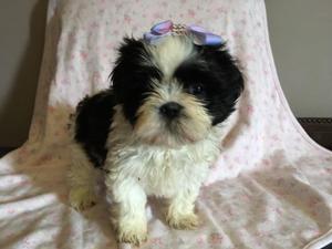 shitzu miniaturas blanco con negro cachorros lindos