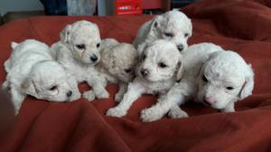 POODLE CACHORRITOS RAZA TOY