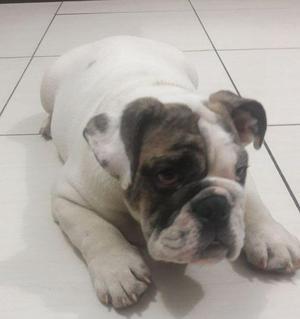 Se vende Bulldog Ingles 4 Meses