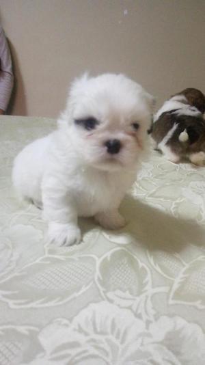 Shitzu Cachorros