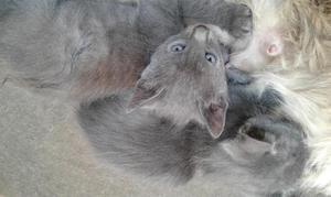 bellos cachorros azul Ruso Machos