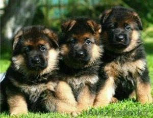 Vendo Mis Lindos Cachorros Pastor Aleman