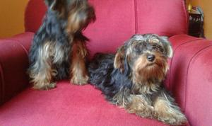 yorkshire terrier lindos cachorros
