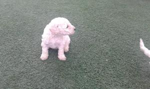 CACHORRITOS POODLE TOY