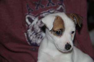 Jack Russell Terrier cachorros