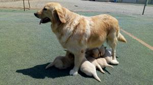 Se Vende Hermosos Cachorros Raza Golden