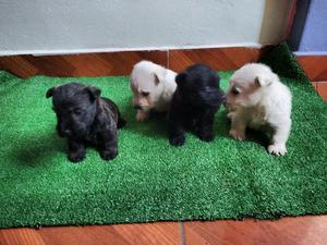 Bellos Cachorros Scottish Terrier